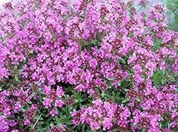 "Thyme Pink Chintz (3"" herb pot)"