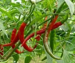 Pepper Cayenne (3 pack vegetable)