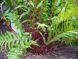 Fern Lady in Red (gallon perennial) $9.99