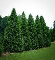 Arborvitae Green Giant (7-8' container) $199.99