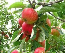 Fruit Tree Apple Fuji (7 gal.) $79.99