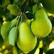 Fruit Tree Pear D'anjou (7 gallon pot)