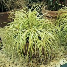 Grass Carex Evergold (gallon perennial) $12.99