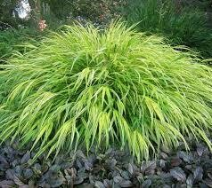 Grass H.M. All Gold (gallon perennial) $16.99