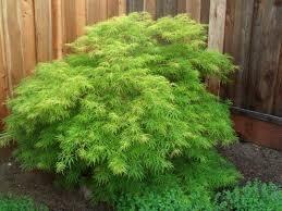 "Maple Virdis (Green Laceleaf) 42"" $119.99"