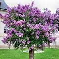Lilac Bloomerang on Standard $149.99