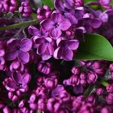Lilac Syringa Ludwig Spaeth (3 gallon shrub)