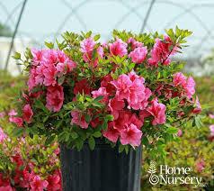 Azalea Renee Michelle (3 gallon shrub) $34.99