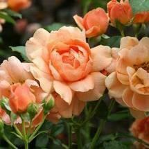 Rose At Last (1 gallon shrub) $19.99