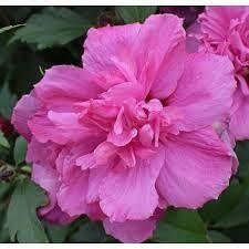 Hibiscus Lucy Rose of Sharon (3 gallon shrub) $39.99