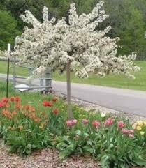 Crabapple Malus Sargentii (7 gallon tree)