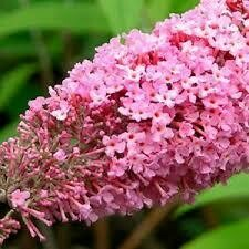 Buddleia PINK DELIGHT Butterfly Bush (3 gallon perennial) $34.99
