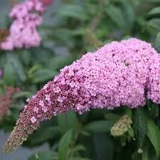 Buddleia PUGSTER PINK Butterfly Bush (3 gallon perennial) $34.99