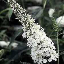 Buddleia WHITE PROFUSION Butterfly Bush (3 gallon perennial) $34.99