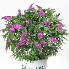 Buddleia PUGSTER PERIWINKLE Butterfy Bush (3 gallon perennial) $34.99