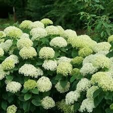 Hydrangea 'Invincibelle Limetta' (3 gallon shrub) $39.99