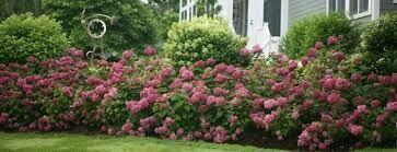Hydrangea Invincibelle Mini Mauvette (3 gallon shrub $39.99