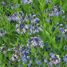 Amsonia Blue Ice (gallon perennial) $11.99