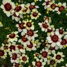 Coreopsis Sizzle & Spice RED HOT VANILLA Tickseed (gallon perennial) $9.99