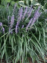 Grass Liriope BIG BLUE Lilyturf (gallon perennial) $12.99