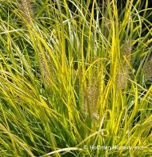 Grass Lumen Gold Fountain (gallon perennial) $12.99