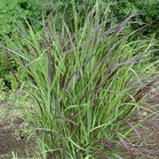 Grass Panicum Switch Shenandoah (gallon perennial) $12.99