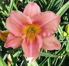 Hemerocalis Never Ending STRAWBERRY SWIRL Daylily (gallon perennial) $14.99