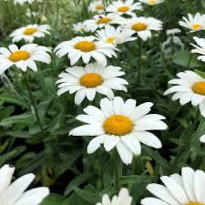 Leucanthemum Snowcap Shasta Daisy (gallon perennial) $9.99