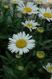 Leucanthemum Snow Lady Shasta Daisy (gallon perennial) $9.99