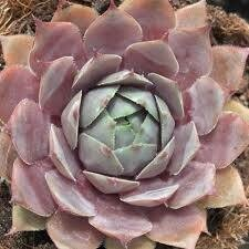 Sempervivum SILVERINE Hens & Chicks (quart perennial) $6.99