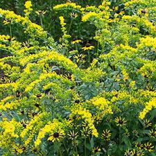 Solidago Shortii Solar Cascade Goldenrod (gallon perennial)