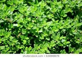 Thyme French (3