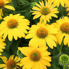 Echinacea Sombrero Lemon Yellow Imp Coneflower (gallon perennial) $12.99
