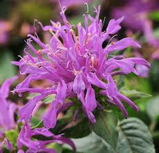 Monarda Balmy Lilac Bee Balm (gallon perennial) $9.99