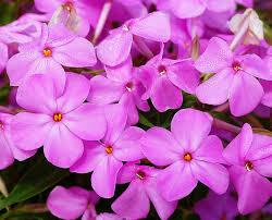 Phlox Forever Pink (quart perennial) $6.99