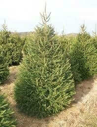 Spruce Norway Picea Abies (3-4') $69.99