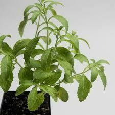 Stevia (3