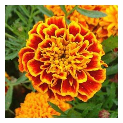 Tagetes Essential Oil 1/2 oz.