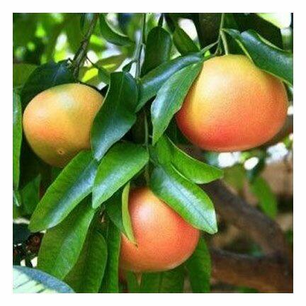 Grapefruit, 1/2 oz.