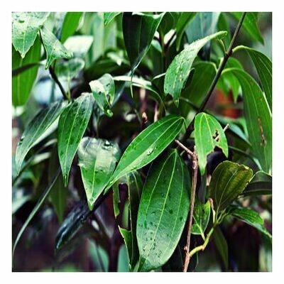 Cinnamon Leaf, 1/4 oz. oz.oz.