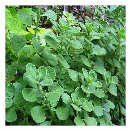 Oregano Leaf-c/s  281
