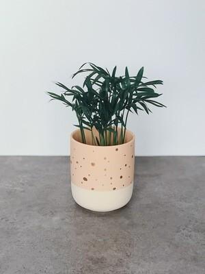 Bella (love) Palm  🌱