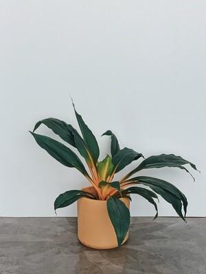 Mandarin Plant  🌱