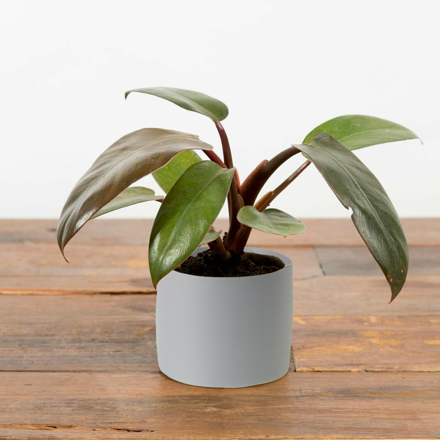 Philodendron Black Cardinal Small