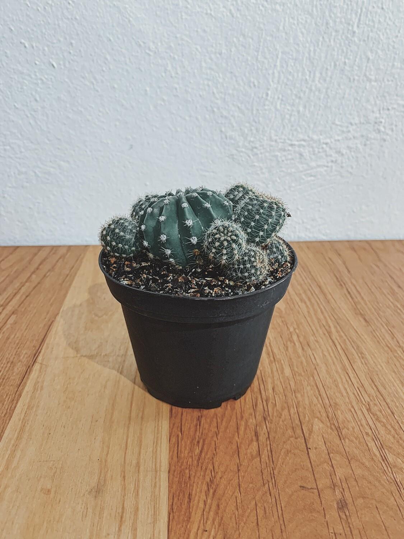 Cacti Assorted