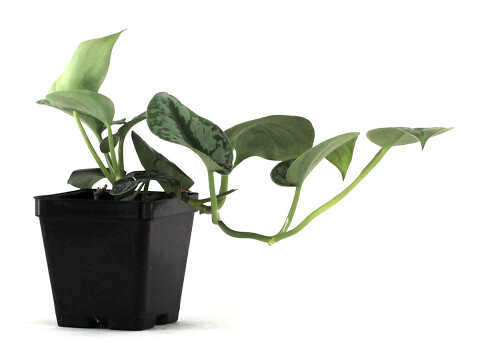 Philodendron Silver Leaf