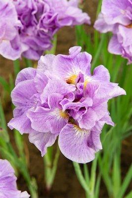 Iris Sibirica 'Pink Parfait' Pond Plant