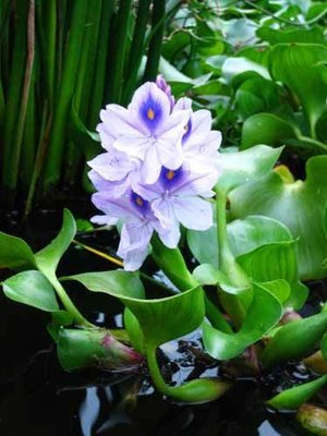 Jumbo Water Hyacinth (3 Plants)