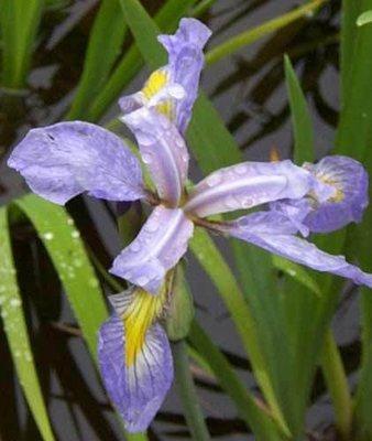 Pale Blue Iris Pond Plant