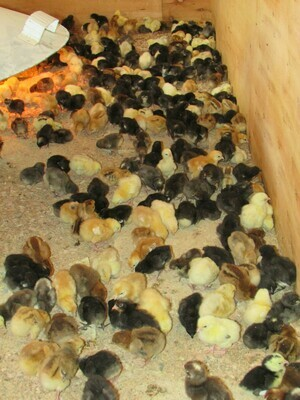 One day old layer chicks